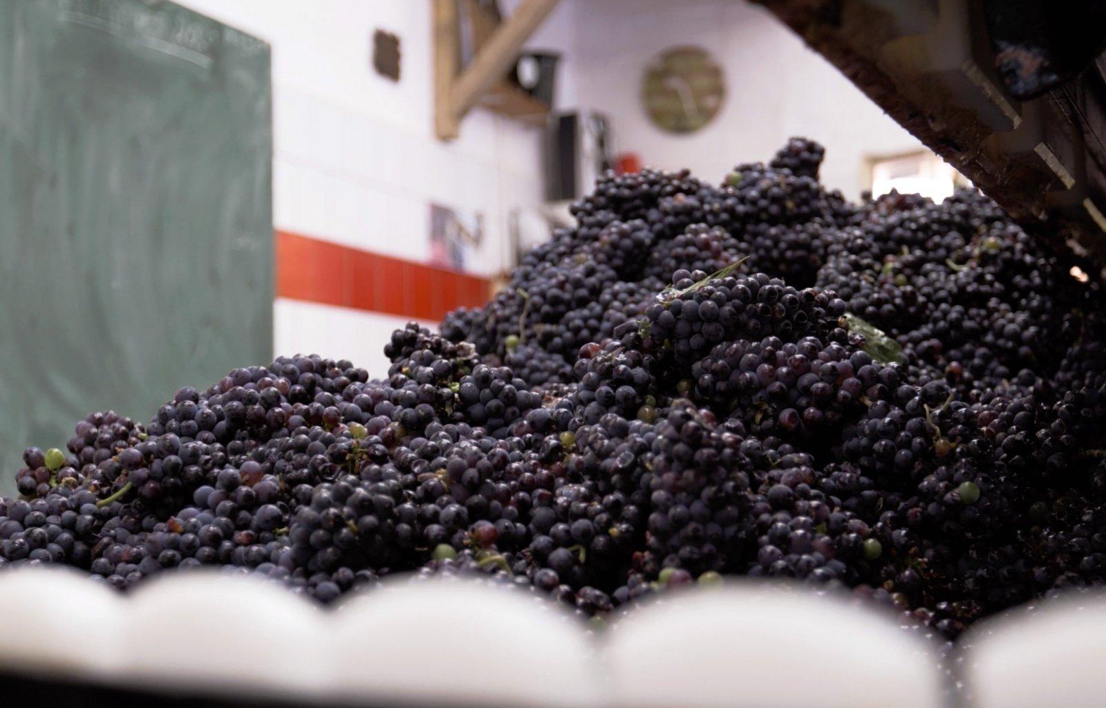 Plan rapproché sur le pressoir rempli de raisins pendant les vendanges
